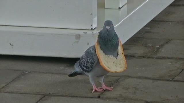 帶著營養領圈的特別聰明鴿子